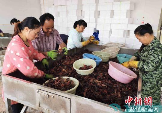 """""""龙虾小镇""""钱粮湖镇每天约发送580吨小龙虾。 付敬懿 摄"""